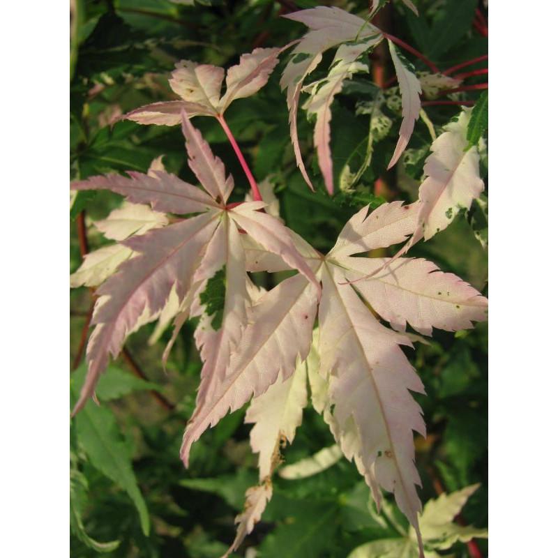 Acer palmatum 'asahi zuru' feuille