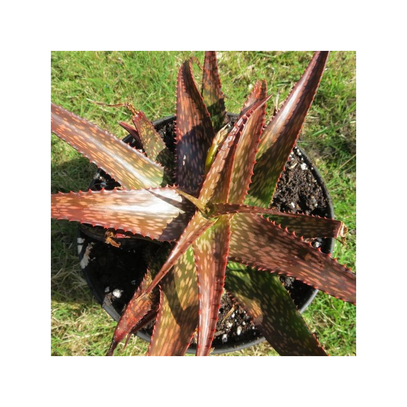 Aloe dorotheae x white ghost