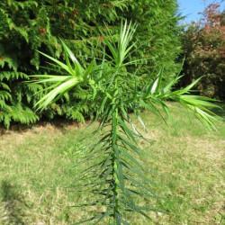Araucaria augustifolia