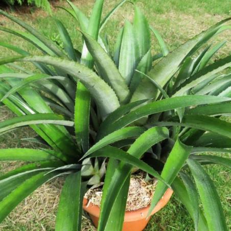 Aechmea recurvata x calyculata
