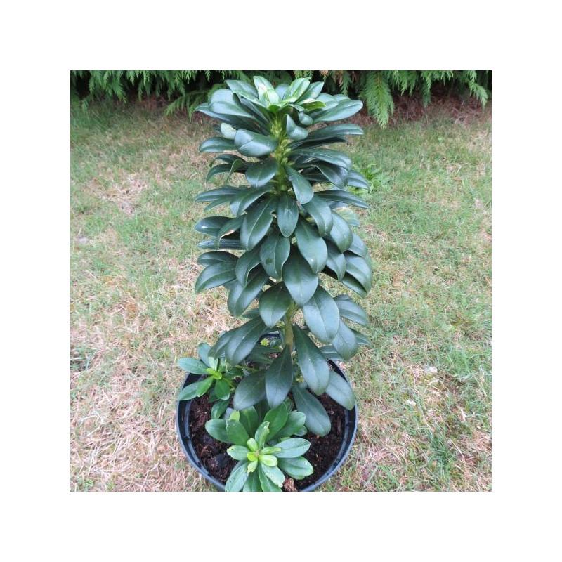 Daphne laureola subsp. philippi