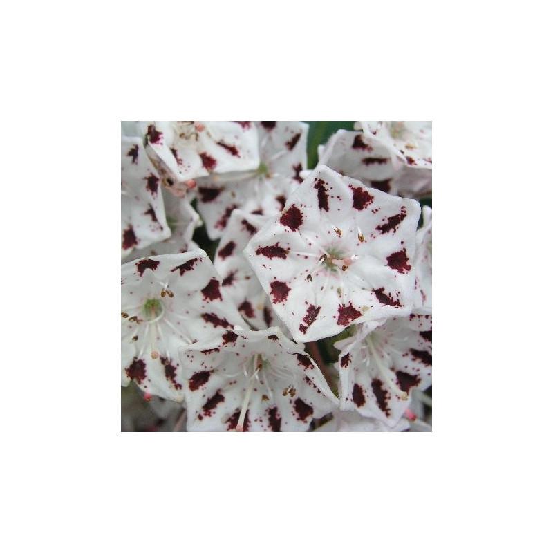 Kalmia latifolia windrose