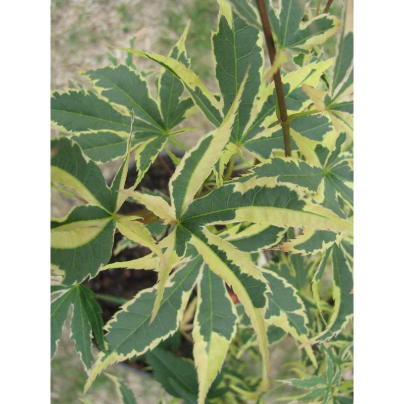 Acer palmatum 'beni shichihenge' feuilles