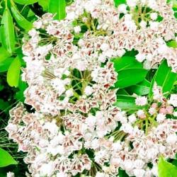 Kalmia latifolia freckles