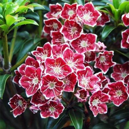 Kalmia latifolia starburst