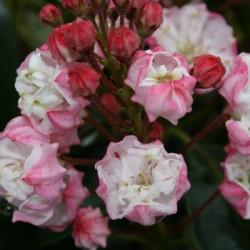 Kalmia latifolia Madeline