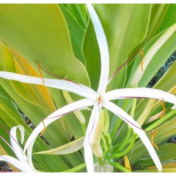 Crinum xanthophyllum