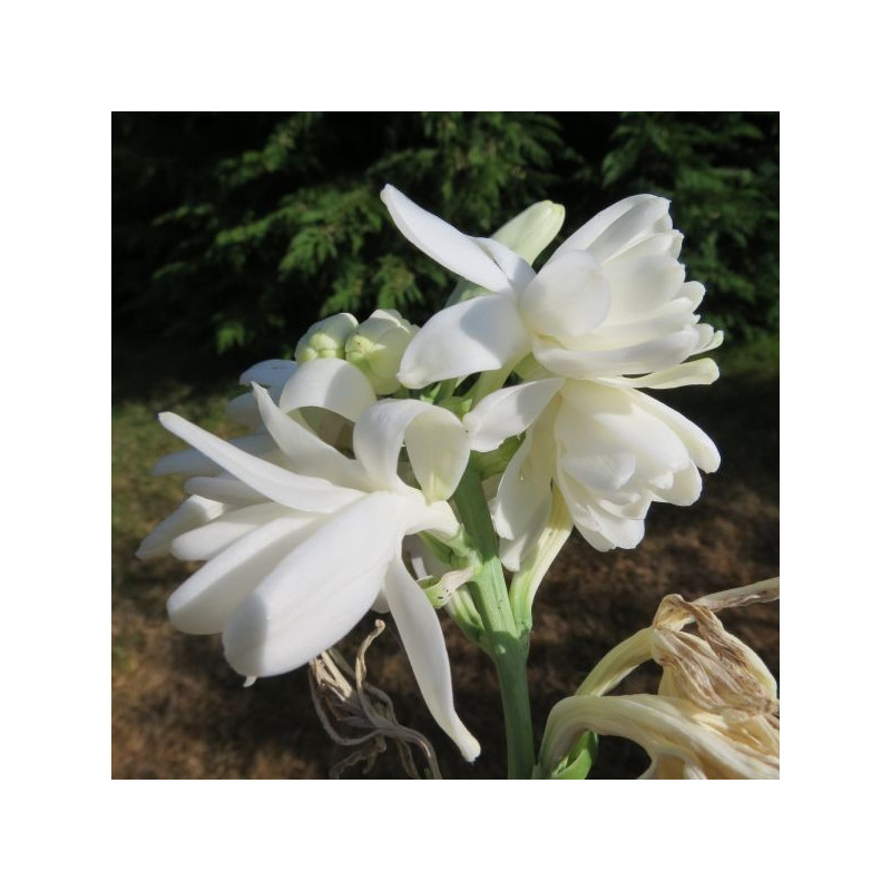 Polianthes tuberosa double