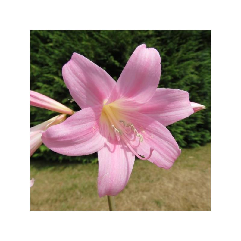 Crinum x powellii roseum