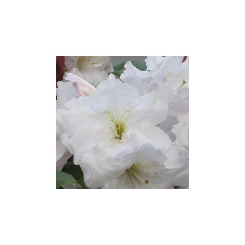 Rhododendron ss wonderland
