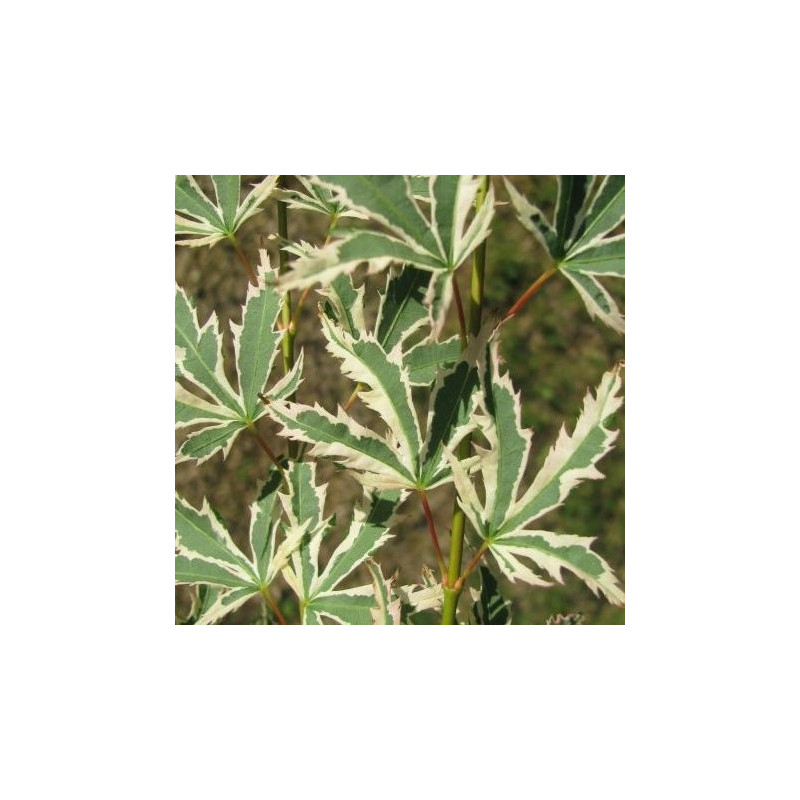 Acer palmatum 'butterfly' feuilles