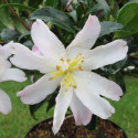 Camellia frosted star