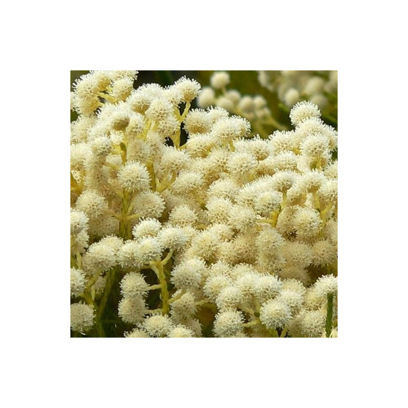 Brunia albiflora