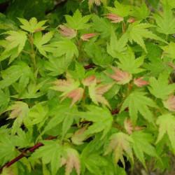 Acer palmatum Coonara pygmy