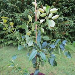 Michelia compressa