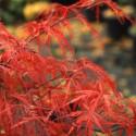 Acer palmatum dissectum 'garnet' feuilles