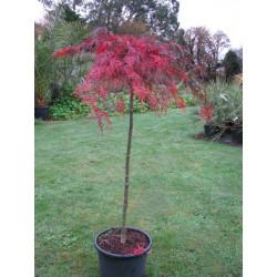 Acer palmatum inaba shidare