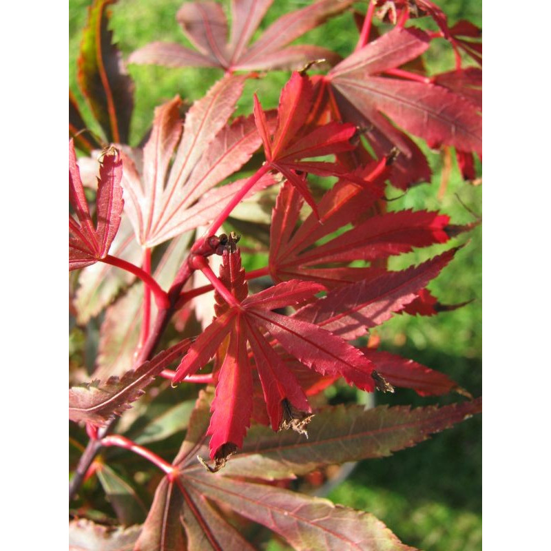 Acer palmatum 'kandy kitchen' feuilles