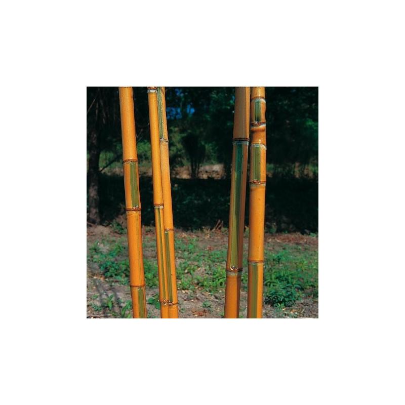 Phyllostachys aurea koi