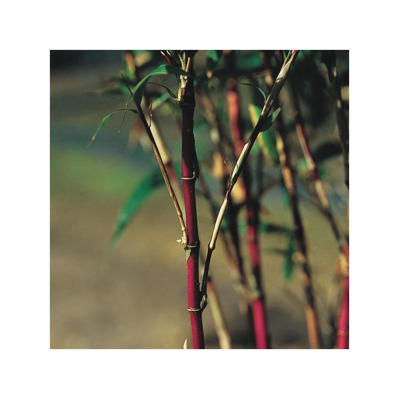 Chimonobambusa variegata