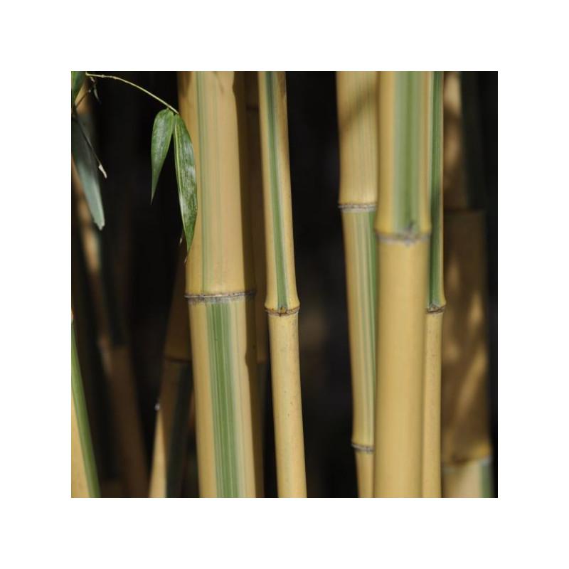 Phyllostachys bambusoides castillonis