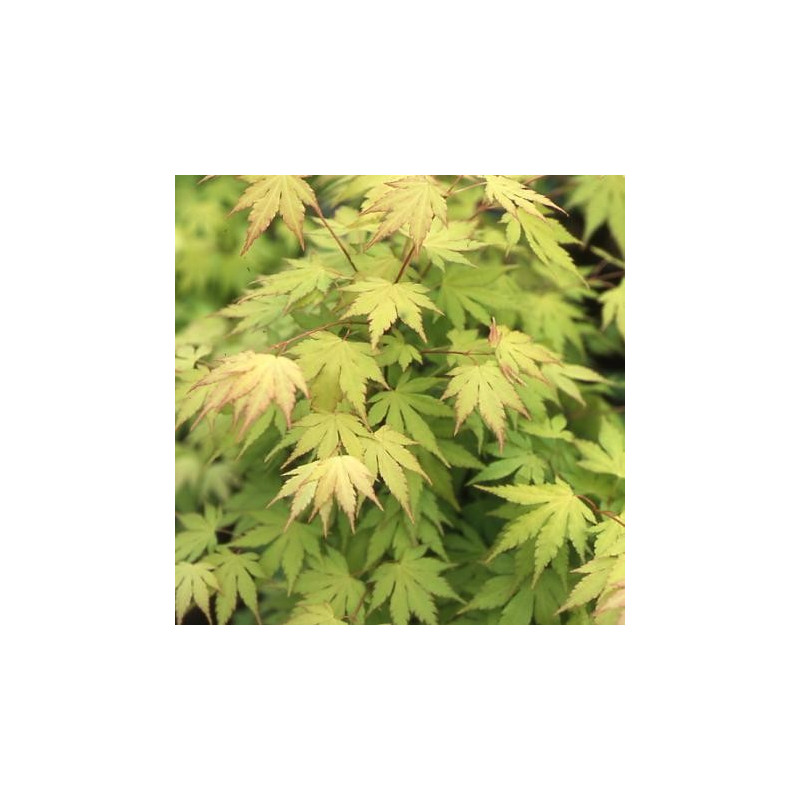 Acer palmatum 'orange dream' feuillage