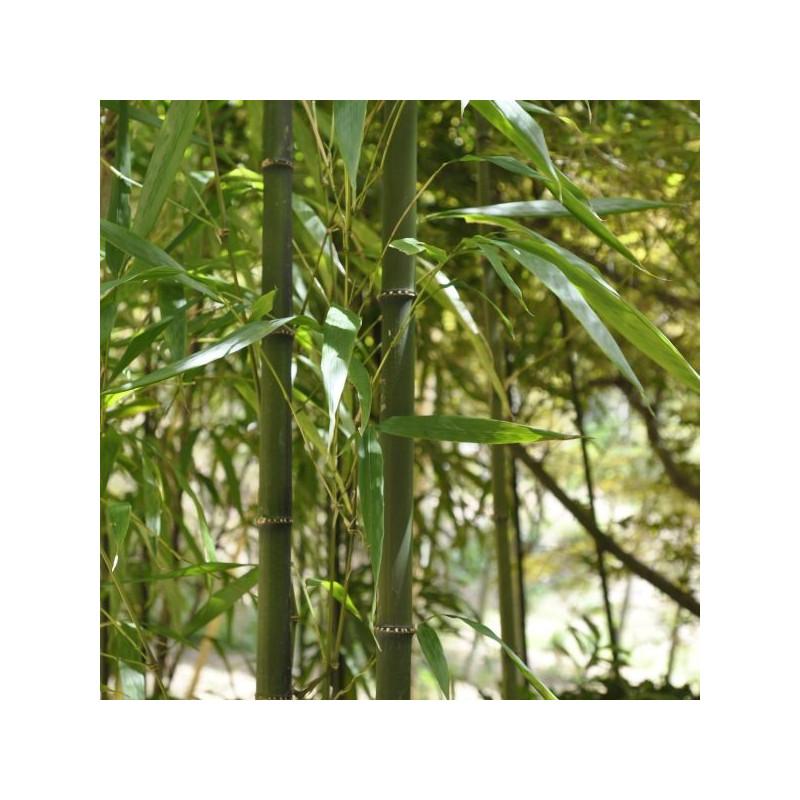 Chimonobambusa quadrangularis
