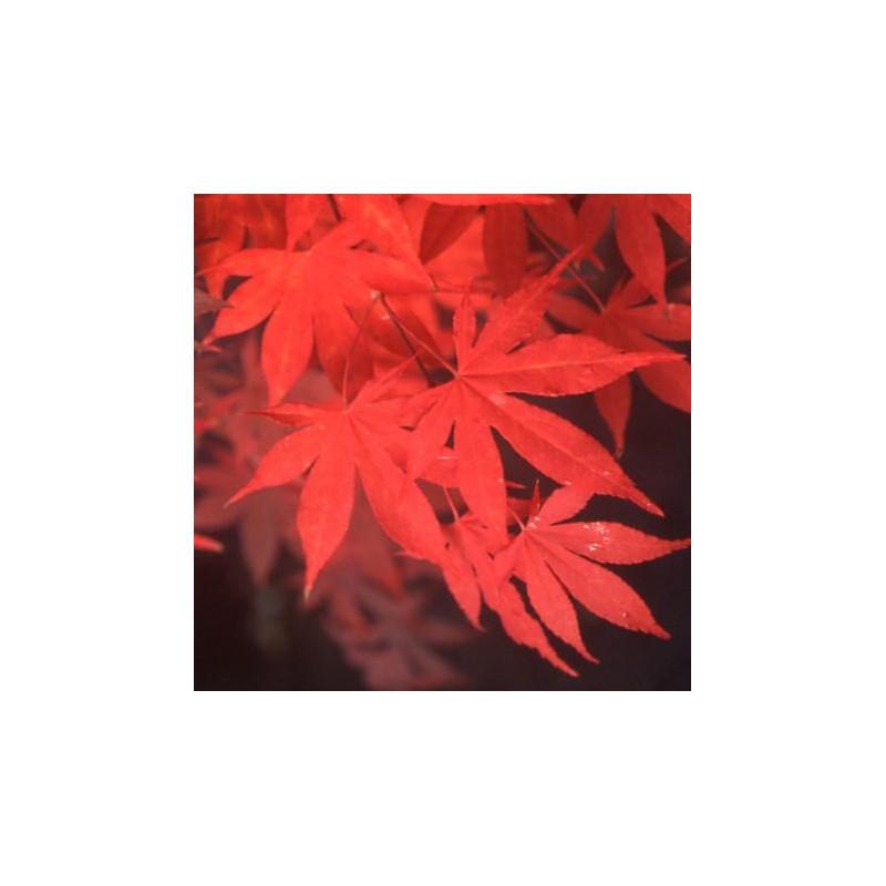 Acer palmatum 'Osakazuki' feuillage