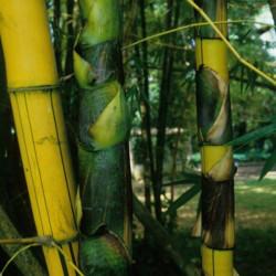 Bambusa vulgaris vittata, striata