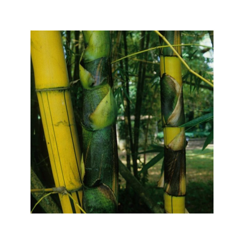 Bambusa vulgaris vittata
