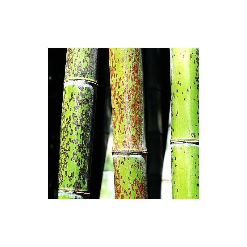 Phyllostachys nigra boryana