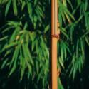Chimonobambusa tatejima