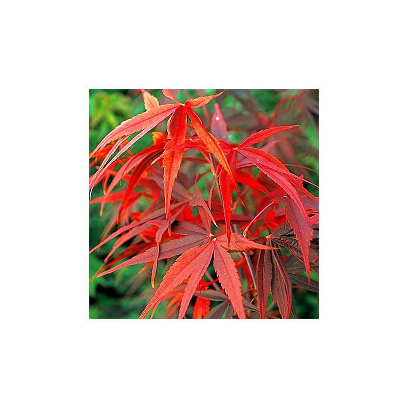 Acer palmatum 'red pygmy' feuillage