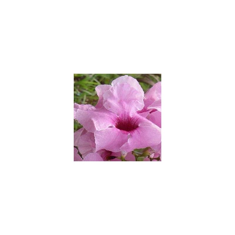 Pandorea jasminoides power of beauty