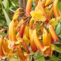 Pandorea jasminoides golden shower