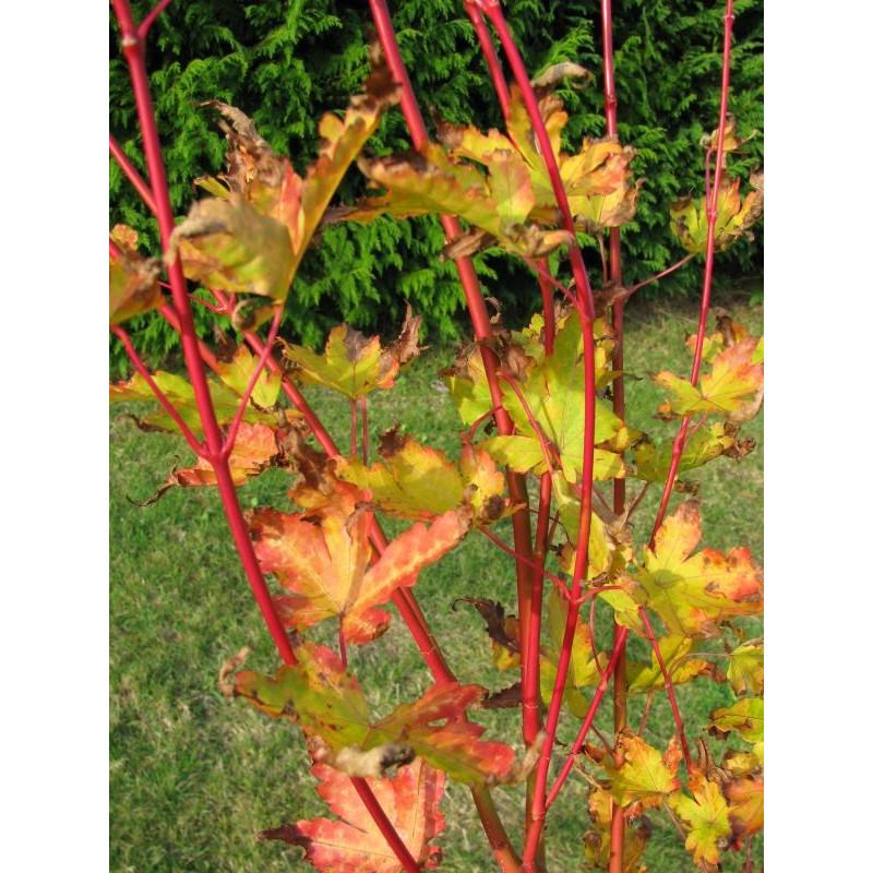Acer palmatum 'senkaki' feuillage