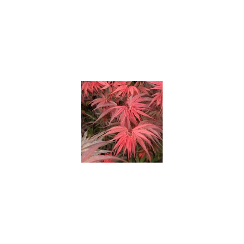 Acer palmatum 'Shaina' feuillage