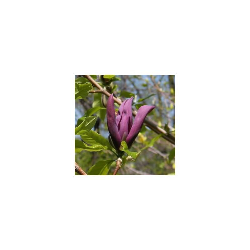 Magnolia black beauty