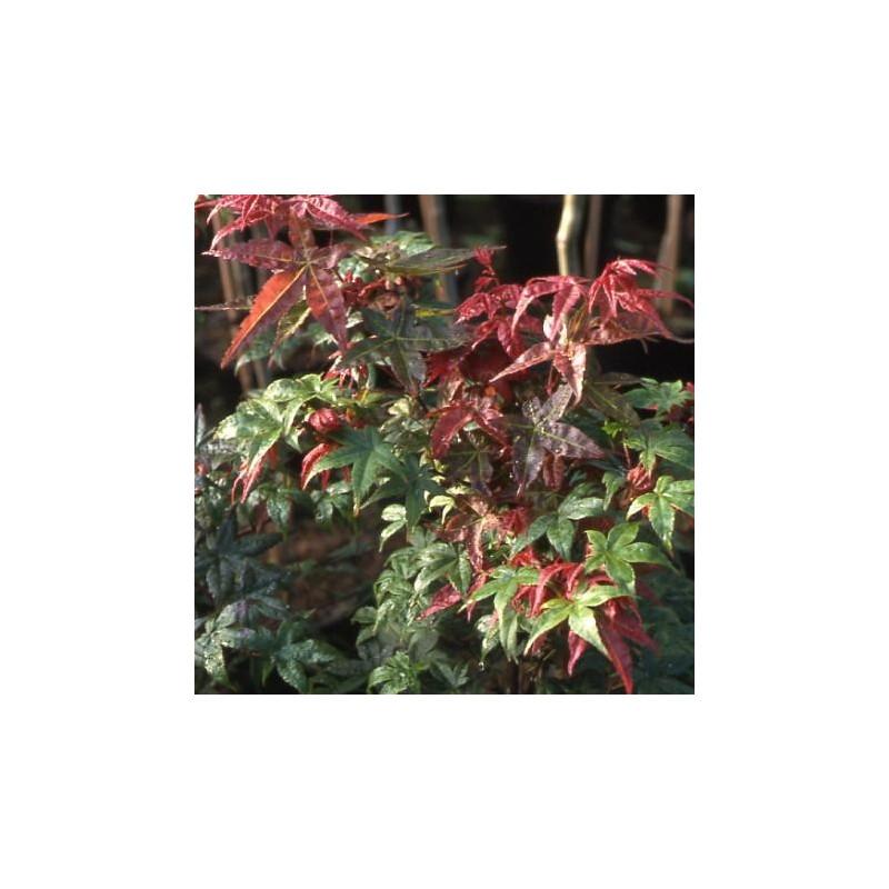 Acer palmatum 'shindeshojo'