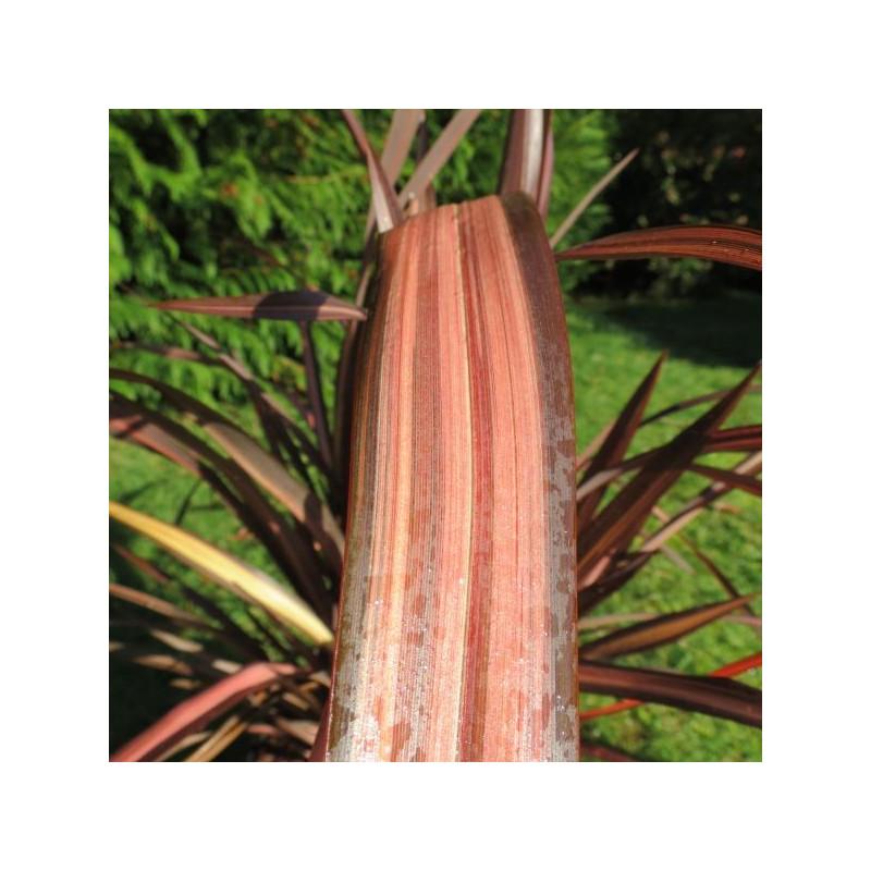 a l 39 ombre des figuiers liste de nos phormium achat vente palmiers l 39 ombre des figuiers. Black Bedroom Furniture Sets. Home Design Ideas