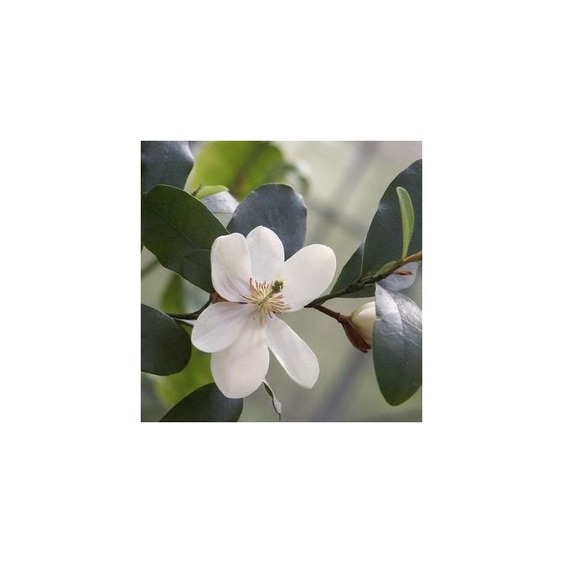 Michelia summer snowflake