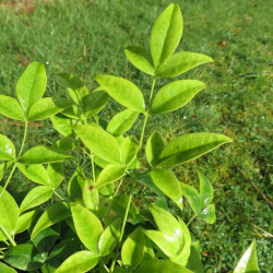 Nandina lemon lime