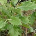 Quercus macrolepis