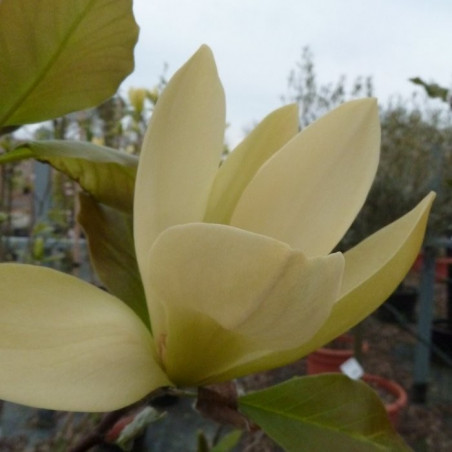 Magnolia solar flair