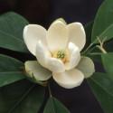 Magnolia virginiana Henry Bricks