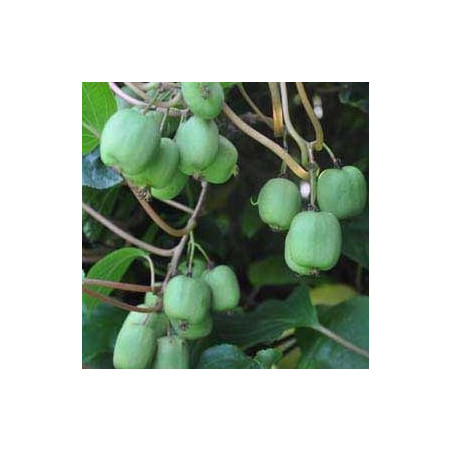 Actinidia arguta ananasnaya