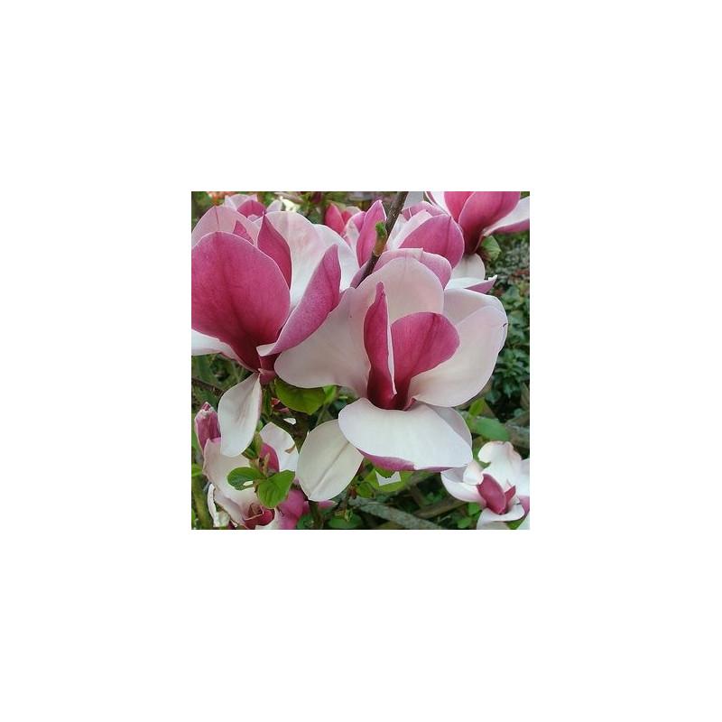 Magnolia pickard's ruby