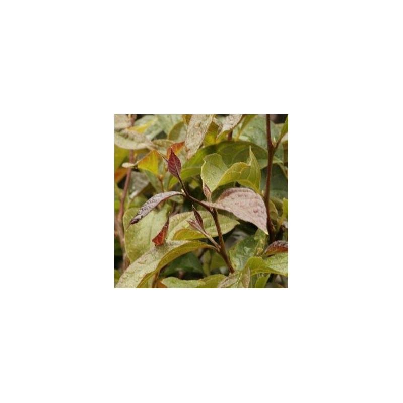 Styrax japonica choco