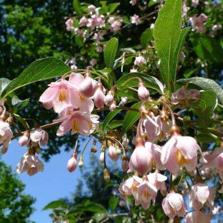 Styrax pink chimes