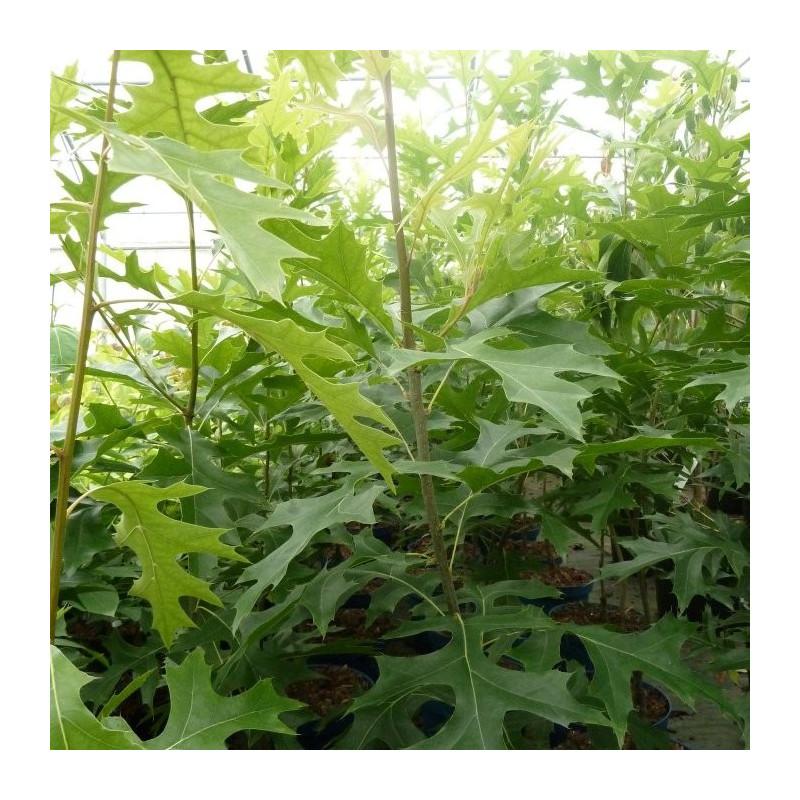 Quercus palustris green pilar®